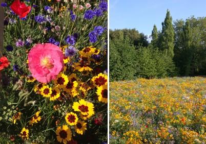 Wildflower_meadow