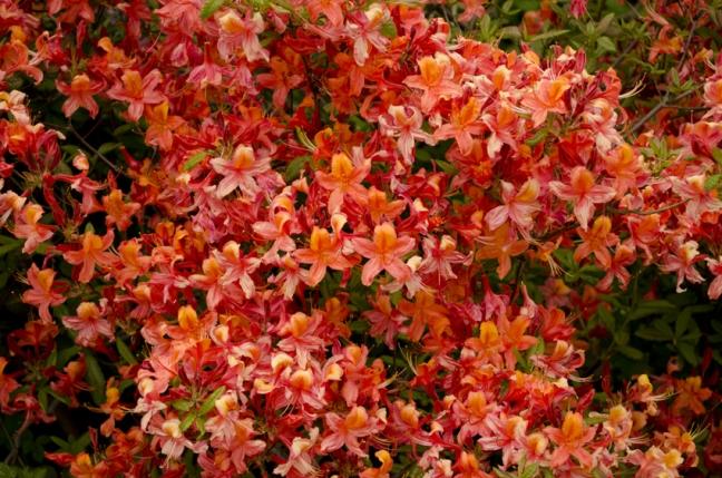 2012-rhododendron-no15_20120520_2040915586