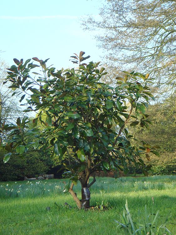 magnolia_20120518_2096575608